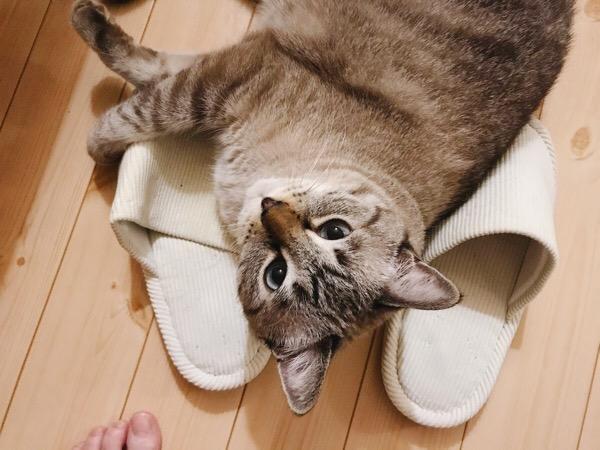 スリッパの上に寝っ転がってこっちを見てる猫。