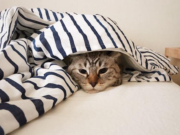 頭まですっぽりふとんを被ってる猫。
