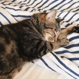 ふとんの上で寝ている猫。