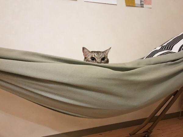 ハンモックからのぞく猫の顔。