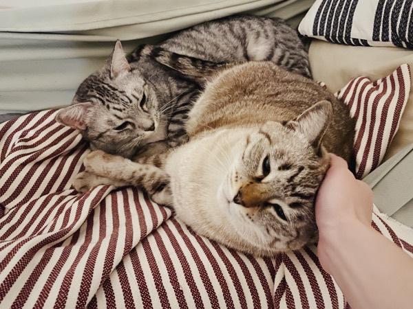 ハンモックの中でまったりしている2匹の猫。