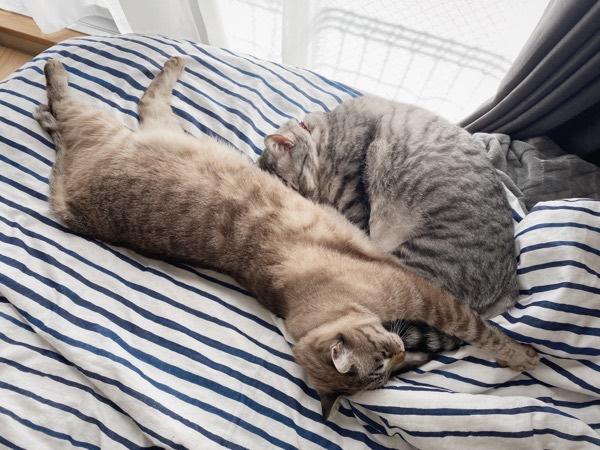 ベッドの上で昼寝をしている兄弟猫。