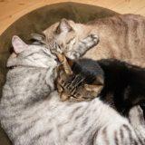ぴったりくっついて寝ている3匹の猫たち。