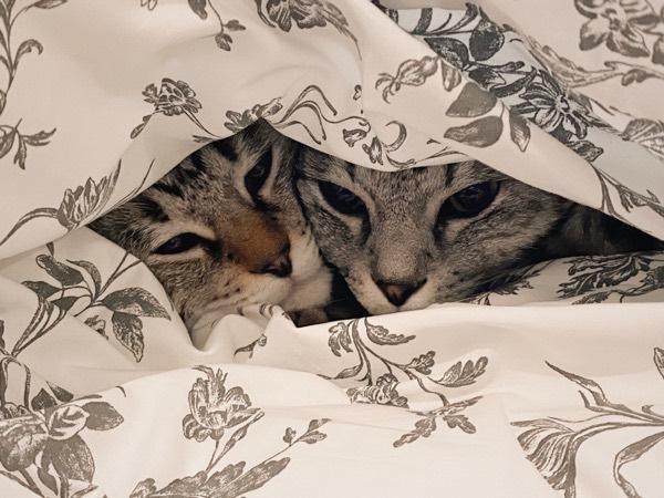 ふとんの中で身を寄せ合う兄弟猫。