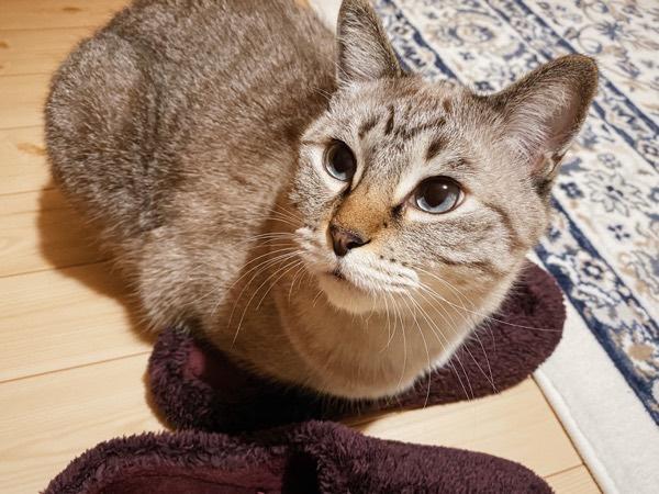 猫の上半身の下敷きになっているルームシューズ。