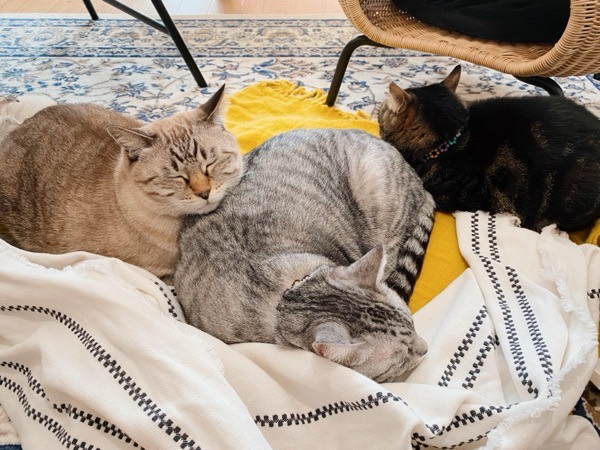 電気ひざ掛けの上で猫団子。