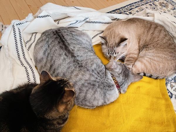 電気ひざ掛けに集まる猫たち。