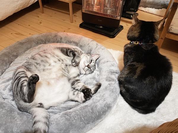 新しいベッドに寝っ転がって独り占めしている巨猫。