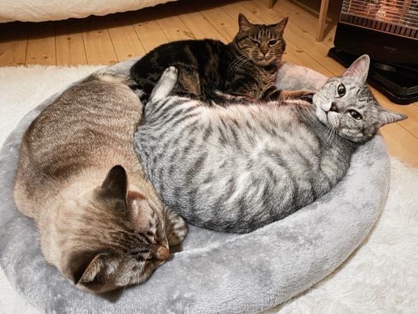 ニトリの猫ベッドにみっちみちに収まる猫3匹。