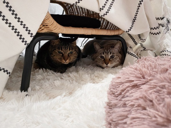 コタツもどきの中に潜っている猫たち。