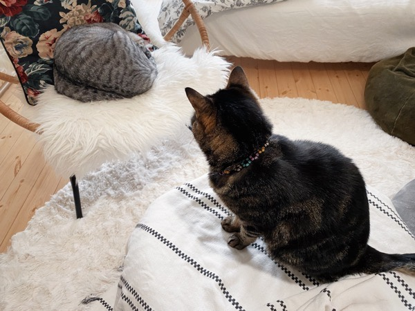 謎の肉団子を見つめる猫。