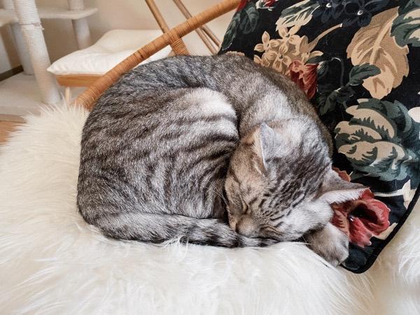 椅子の上で丸くなっている猫。