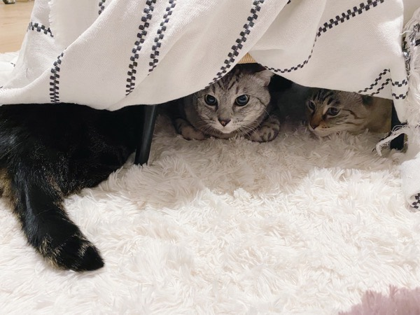 コタツの中に集まる猫たち。