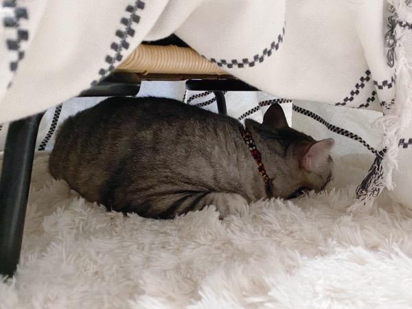 コタツの中で寝てる猫。