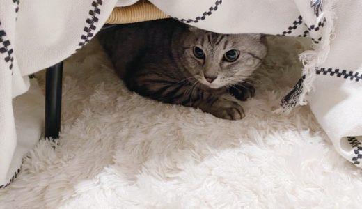 ちゃっかりコタツ派に寝返った猫