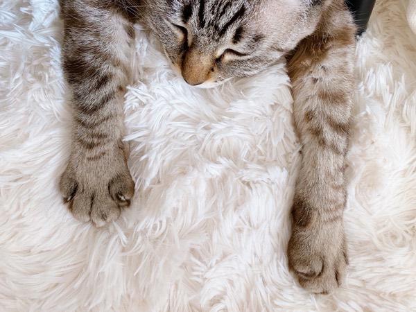 ふかふかであったかいカーペットの上で脱力してる猫。