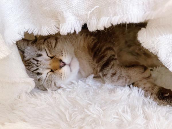 スヤスヤ眠る猫。