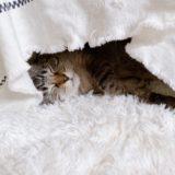 コタツの中で横になって寝てる猫。