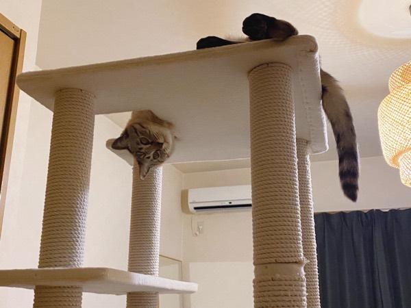 キャットタワーから首だけ出してる猫。