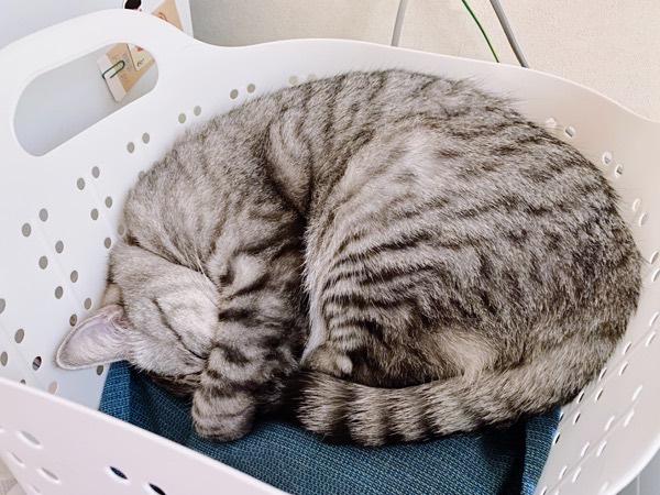 丸くなって寝てる猫。