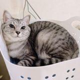 洗濯カゴの中に収まってる猫。