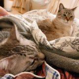 ふとんでニンゲンといっしょに寝る猫たち。