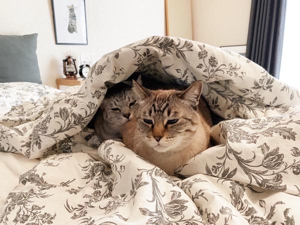 ふとんの上にいる猫たち。