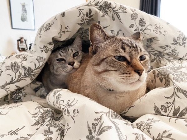 ふとんの中に潜る寒がり猫。