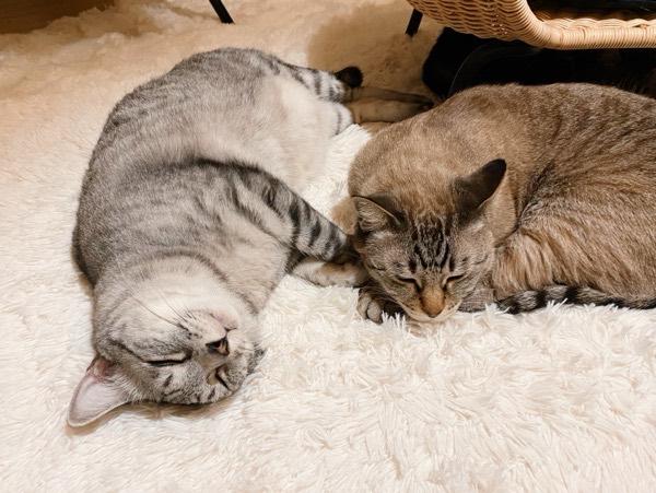 猫はいつもおうちでごろごろ。