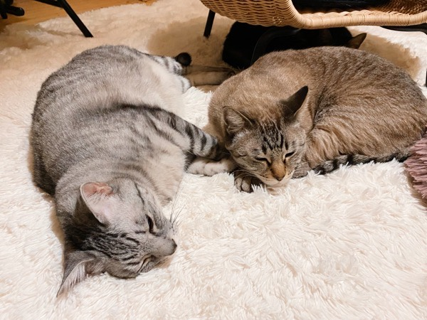 床で寝そべってる兄弟猫。