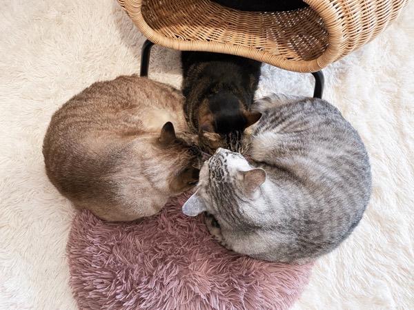 ニンゲンの座布団に集まる猫たち。