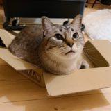 小さなダンボール箱に入っている猫。