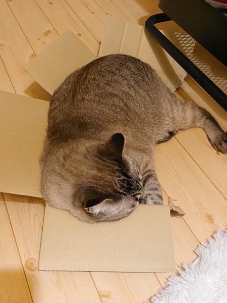 箱が壊れてても気にしない猫。