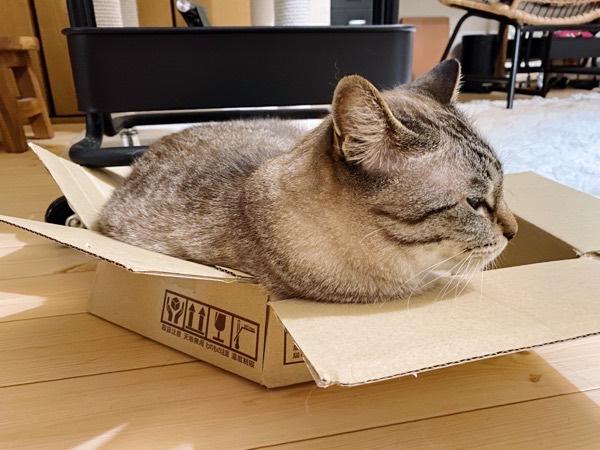 壊れたダンボール箱に収まる猫。