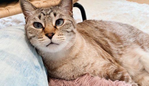 猫の耳掃除(※耳クソ画像あり)