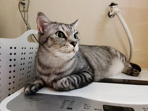 絵になるイケメン猫。