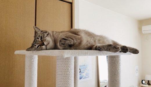 眠たくてもファンサを欠かさない猫