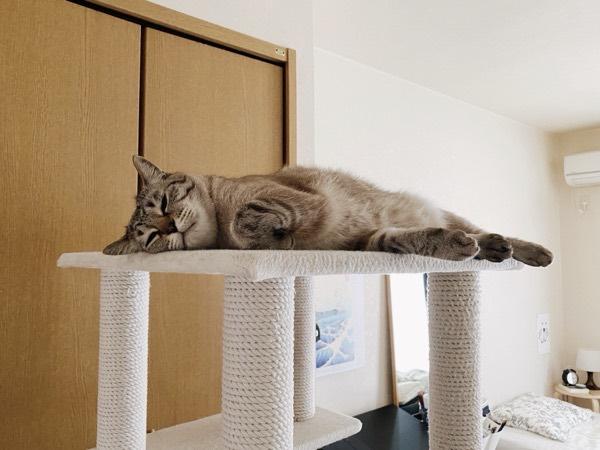 キャットタワーのてっぺんで寝そべってる猫。
