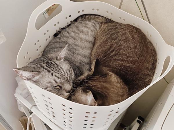 洗濯カゴの中にみっちり詰まった2匹の猫。
