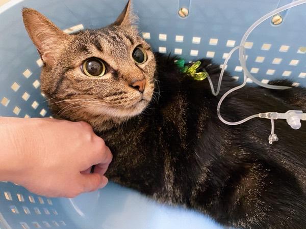 針を刺して皮下輸液中の猫。