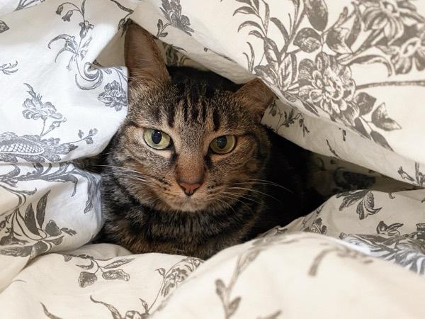 ふとんの中にすっぽり入っている猫。