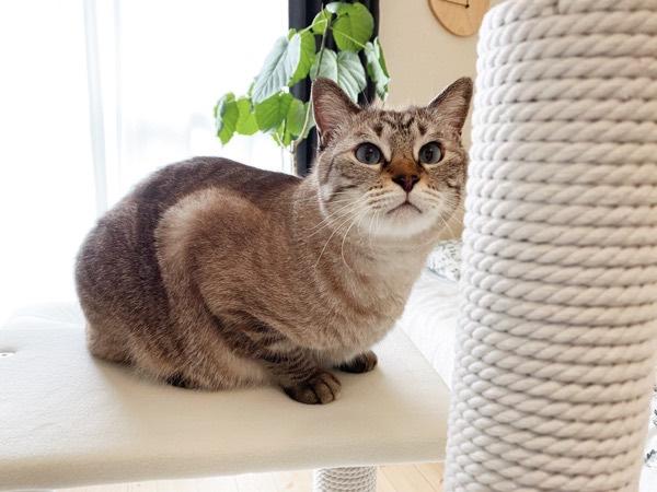 新しいキャットタワーに興味津々な猫。