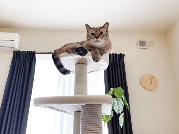 完成したキャットタワーのてっぺんで寛ぐムーちゃん。