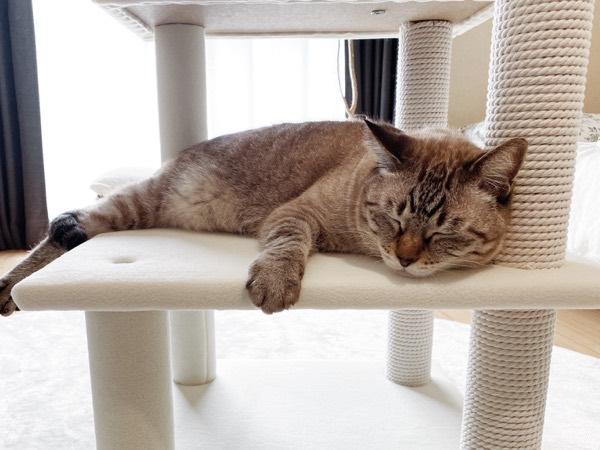 組み立て途中のキャットタワーで寝てしまった猫。