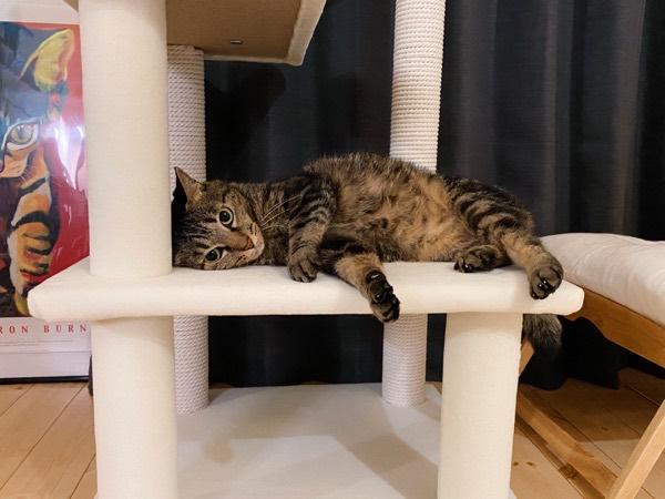 キャットタワーに寝そべってゴロゴロしている猫。
