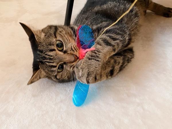 カシャブンにじゃれる猫。