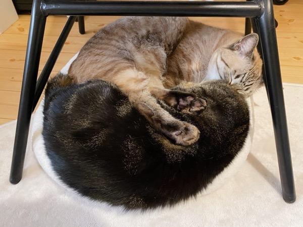 姉猫の上に脚を乗せる弟猫。