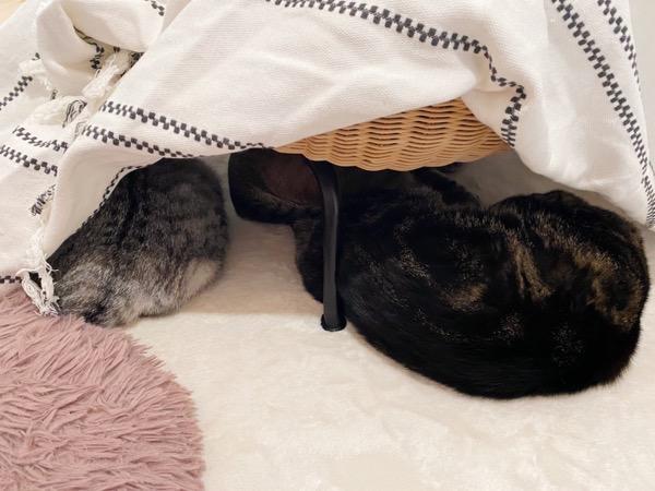こたつで丸くなる猫たち。