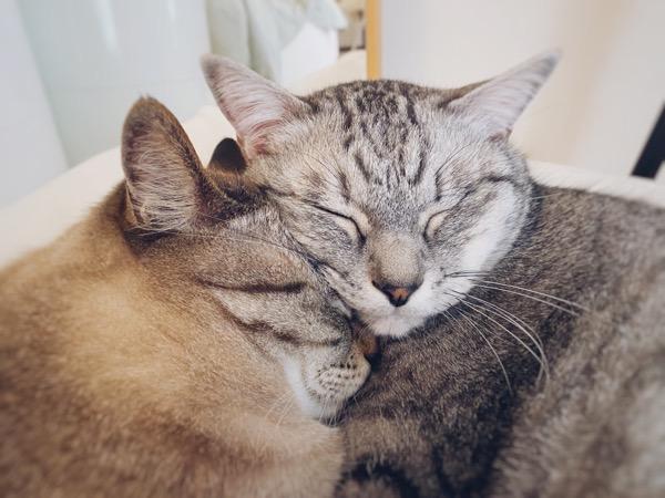 顔をくっつけて眠る兄弟猫。